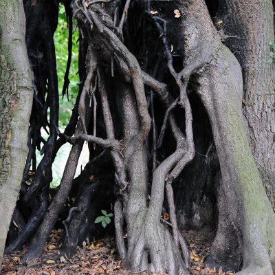 Alte Linde im Park des Rittergutes Remeringhausen