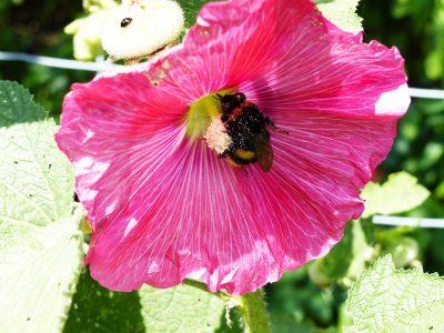 Pinkfarbene Stockrosenblüte mit einer Hummel am Blütenstamm