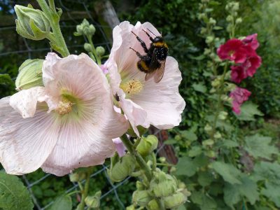 Rosafarbene Stockrosenblüte mit Hummel