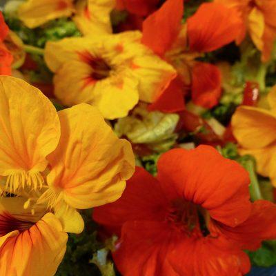 Gelbe und orangefarbene essbare Kapuzinerkresse-Blüten