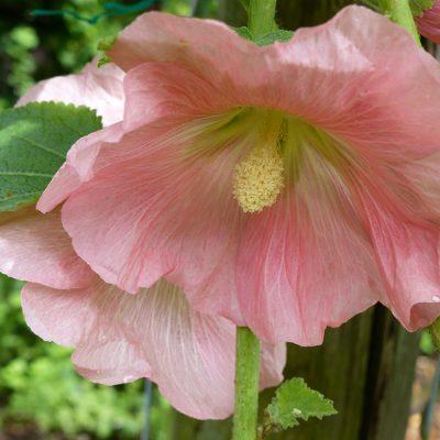 Blüte von einer Stockrose in Großaufnahme